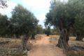 Lun – Gaje oliwne