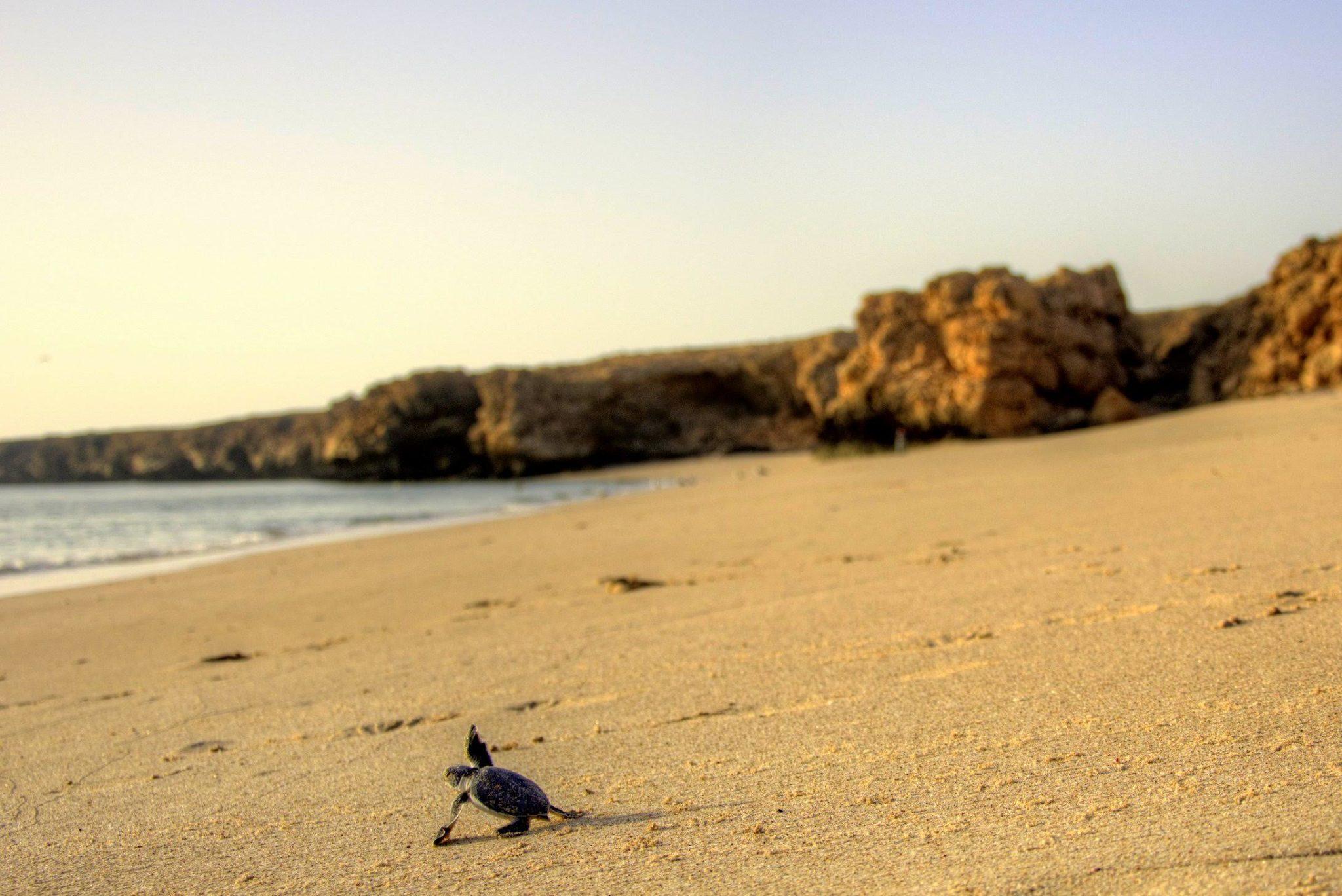 Młody żółwik zmierza do morza